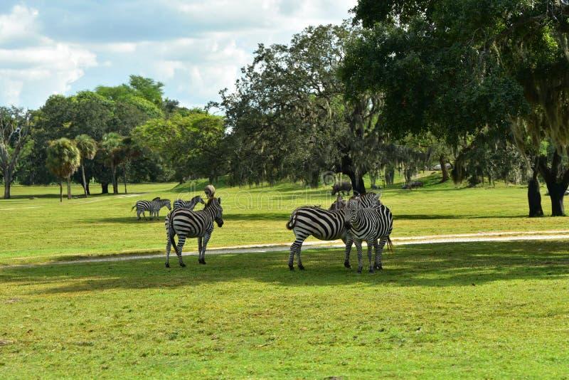 Cenário natural bonito das zebras e dos hipopótamos no parque temático dos jardins de Bush fotos de stock