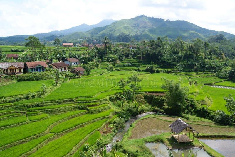 Cenário natural em campos do arroz em Java Indonesia ocidental foto de stock royalty free