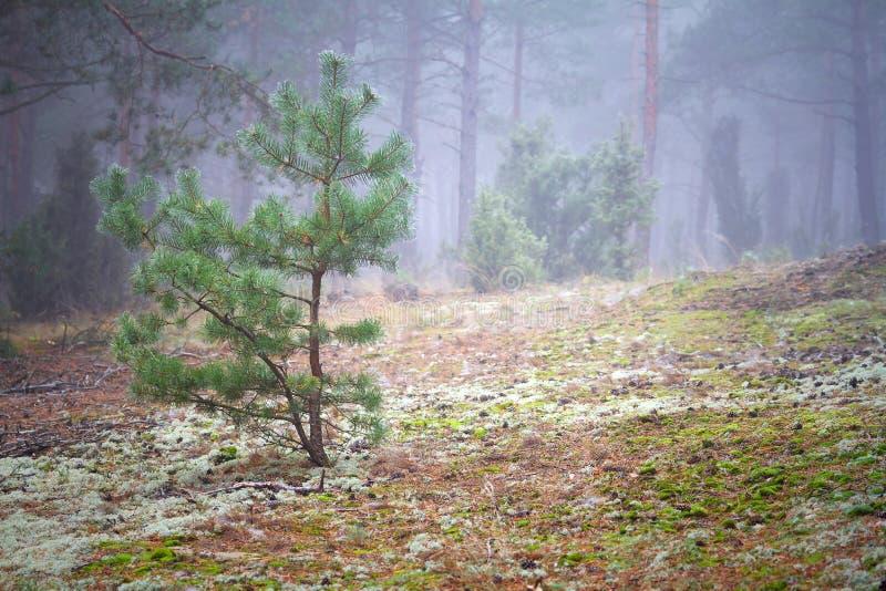 Cenário Nevoento Da Floresta Foto de Stock