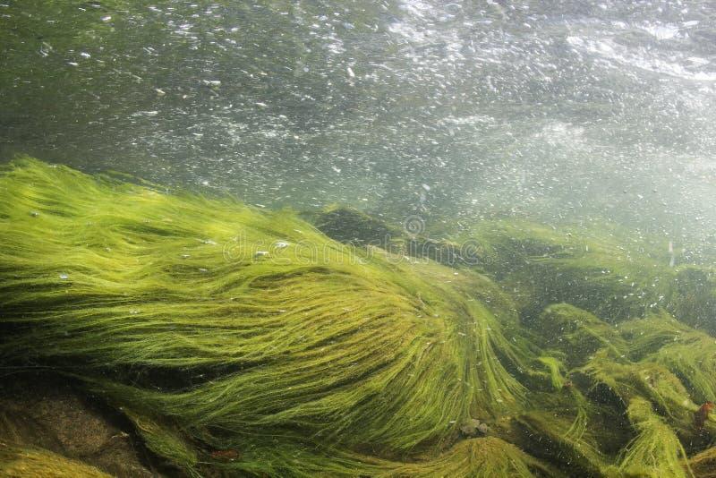Cenário subaquático, algas, habitat subaquático do rio da montanha, rio fotos de stock