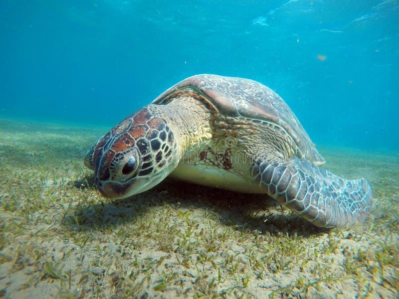 Cenário subaquático com a tartaruga de mar na água azul fotografia de stock