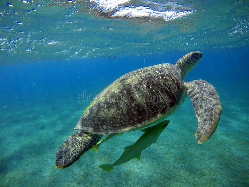 Cenário subaquático com a tartaruga de mar na água azul foto de stock