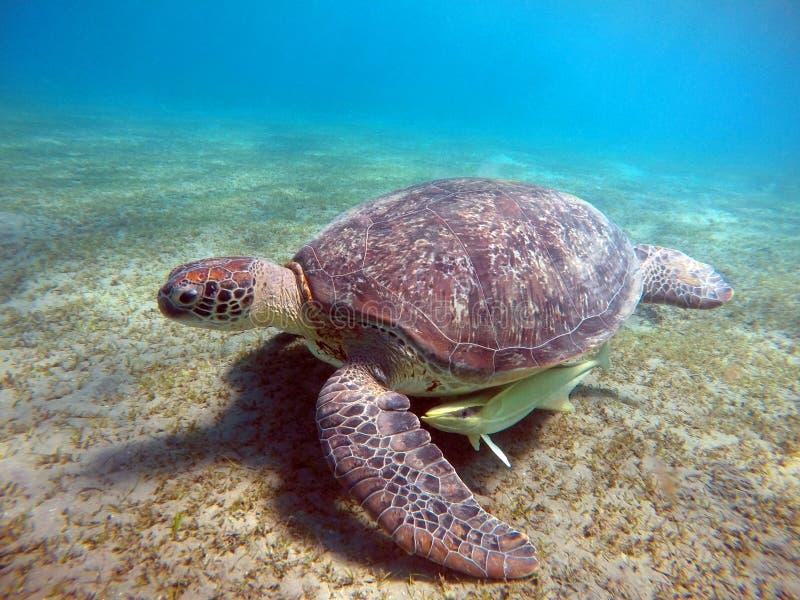Cenário subaquático com a tartaruga de mar na água azul imagem de stock royalty free