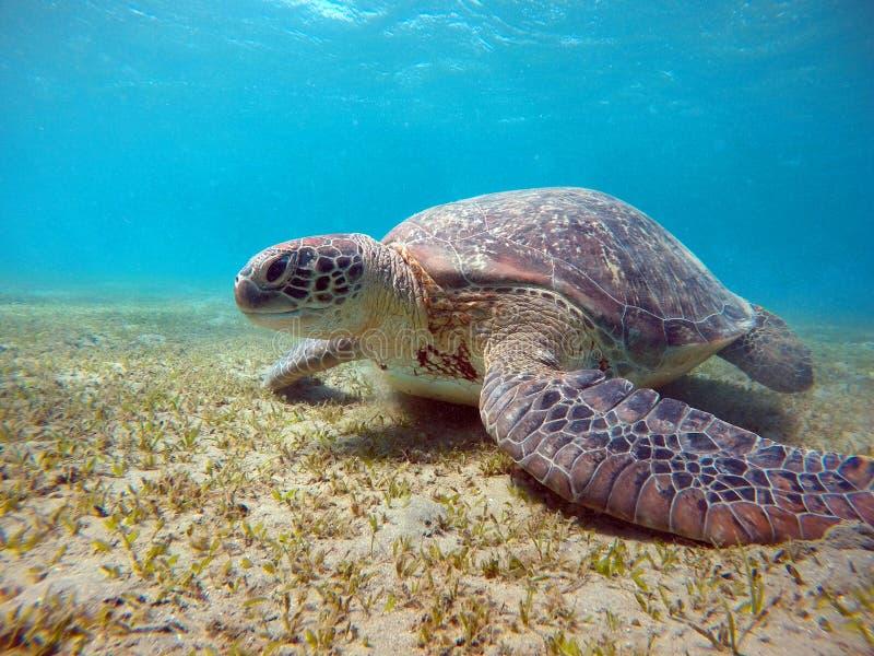 Cenário subaquático com a tartaruga de mar na água azul fotos de stock