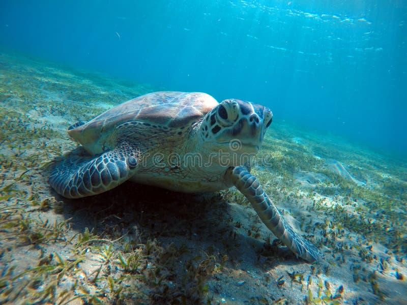 Cenário subaquático com a tartaruga de mar na água azul imagem de stock
