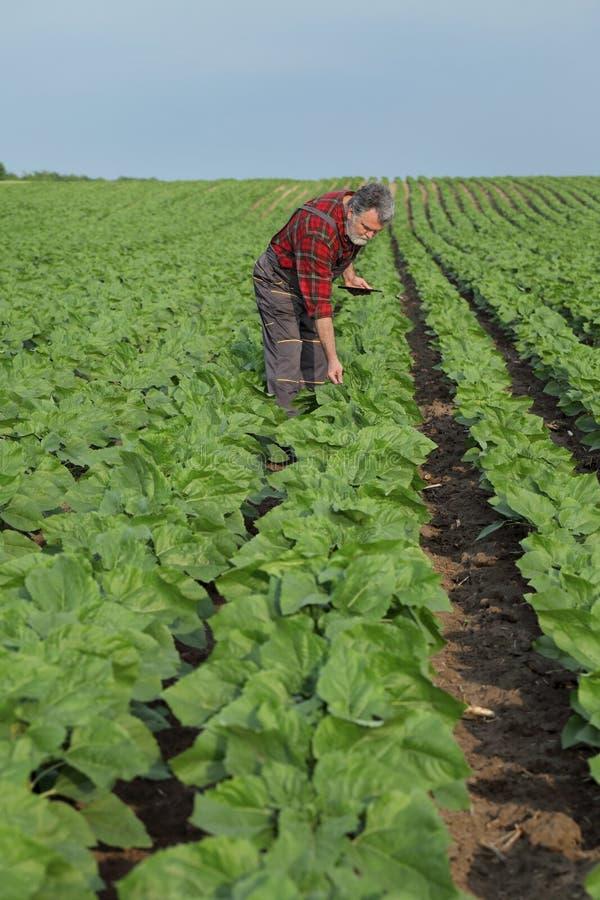 Cena agrícola, fazendeiro no campo do girassol que inspeciona a planta imagem de stock