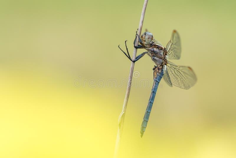Cena bonita da natureza com coerulescens de Orthetrum da espumadeira de Keeled da libélula imagens de stock royalty free