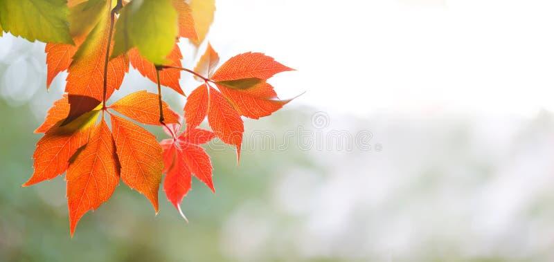 Cena colorida do tempo do outono Ramo de árvore selvagem com folhas vermelhas, dia ensolarado da uva da videira virgem Foco macio foto de stock