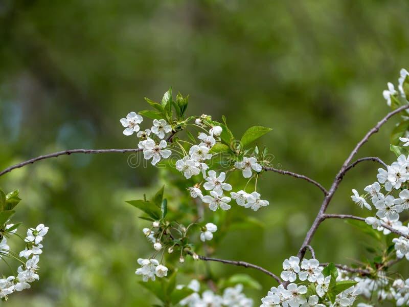 Cena com ramos da cereja na flor completa imagens de stock royalty free
