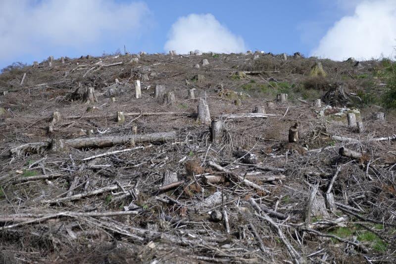 A cena da floresta do felling da árvore desbastou abaixo das árvores para a madeira que deixa a paisagem desencapada em Loch Lomo foto de stock