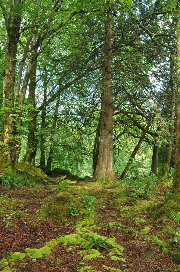 Cena da floresta no Kerry Ireland imagens de stock