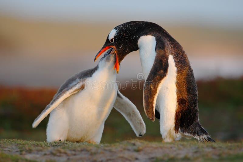 Cena de alimentação Alimento beging do pinguim novo do gentoo ao lado do pinguim adulto do gentoo, Malvinas Pinguins na grama Gen fotos de stock