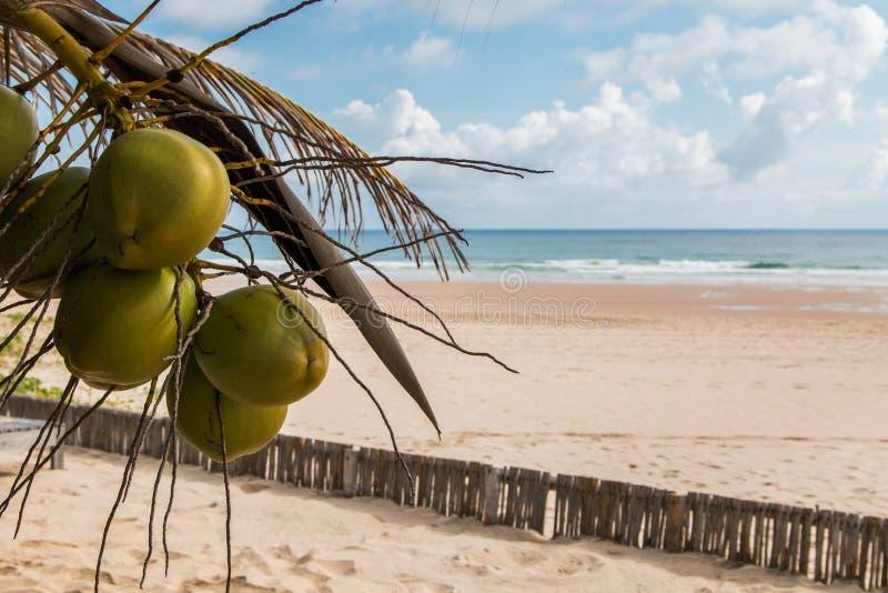 Cena de praia da ilha tropical em Moçambique com cocos pendurados na árvore imagem de stock