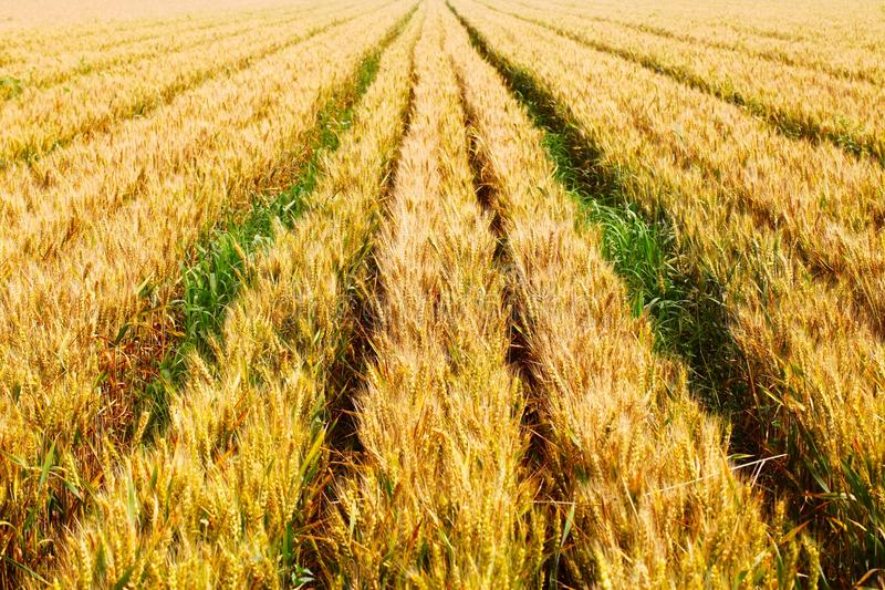 A cena de uma boa colheita fotografia de stock royalty free