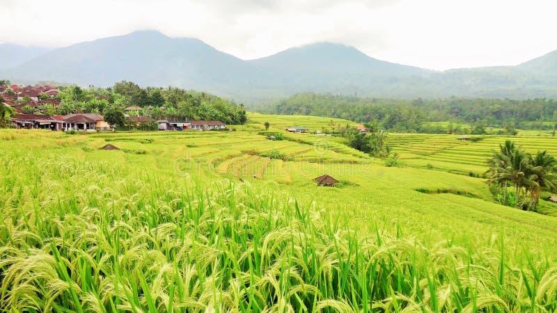 Cena do campo do terraço do arroz, Ubud da manhã, Bali Indonésia imagem de stock
