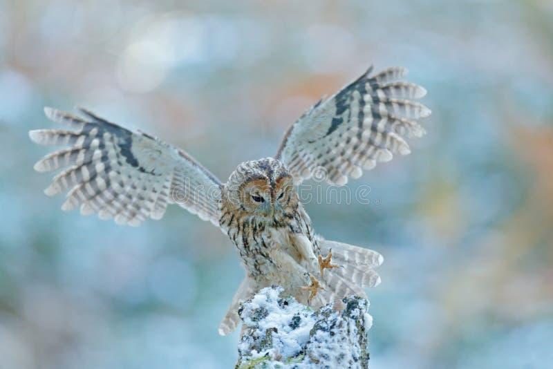 Cena do inverno da mosca com coruja Coruja do voo na coruja da floresta da neve na mosca Cena da ação com coruja Eurasian Tawny O fotografia de stock royalty free