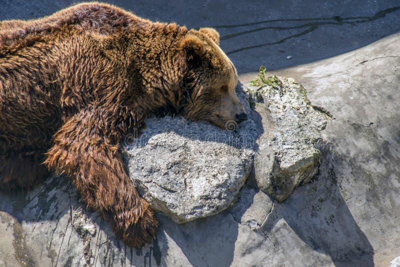 Cena do jardim zoológico Big Bear dorme no sol imagens de stock royalty free