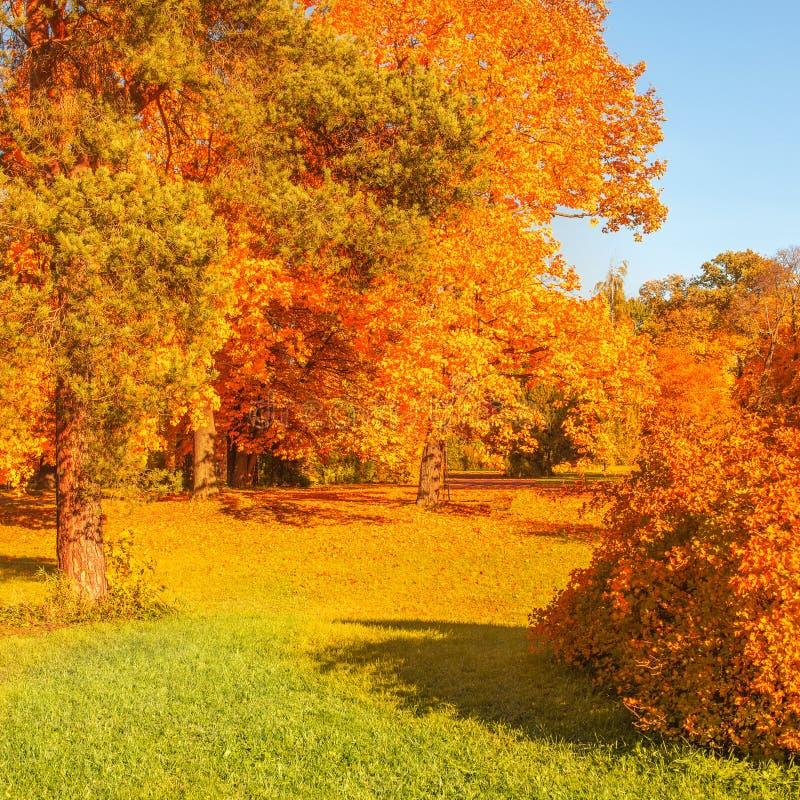 Cena do outono com folhas douradas, as ?rvores outonais, o prado, o c?u azul e feixes de brilho do sol Paisagem bonita do campo fotos de stock