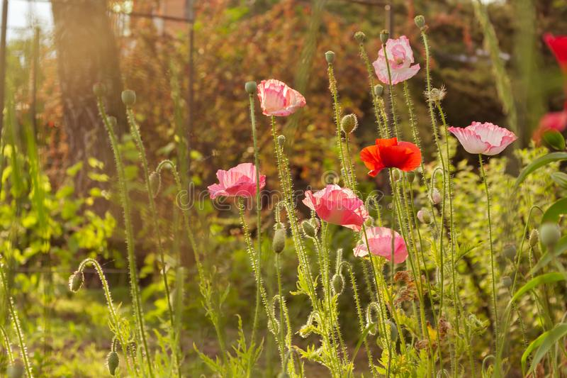 Cena do verão com campo de flores vermelho brilhante da papoila, luz do sol dourada Fundo do papel de parede do ver?o fotografia de stock