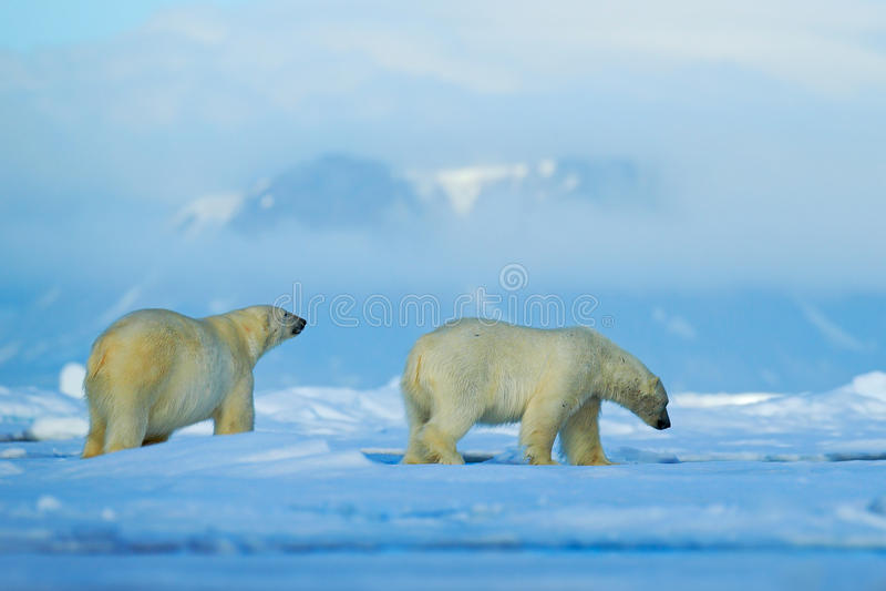 Cena dos animais selvagens com os dois ursos polares do ártico Pares do urso polar que afagam no gelo de tração em Svalbard ártic foto de stock