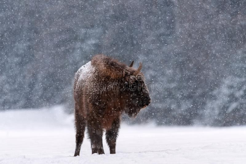 Cena dos animais selvagens do inverno: Grande queda de neve selvagem imóvel de Brown Bison Wisent During A Madeira europeia grand fotografia de stock royalty free