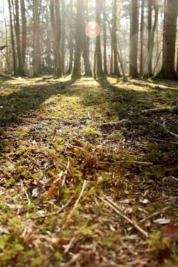 Cena ensolarada da floresta com primeiro plano no foco e árvores borradas levemente fotografia de stock royalty free