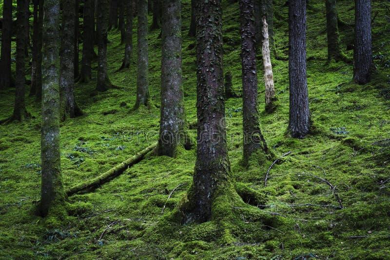 Cena escocesa luxúria da floresta imagens de stock