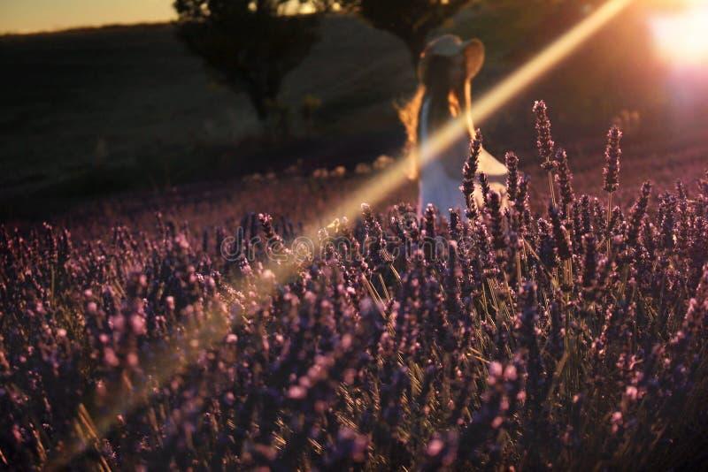 Cena mágica no campo da alfazema imagem de stock royalty free