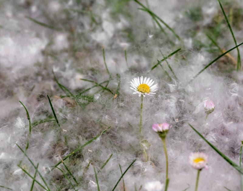 Cena natural com as flores do campo cobertas com o fluff do álamo na mola imagens de stock royalty free