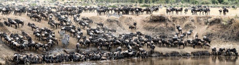 Cena panorâmico da grande migração do gnu imagem de stock