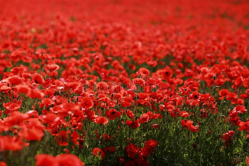 Cena pitoresca fim acima da papoila fresca, vermelha das flores no campo verde, na luz solar paisagem rural majestosa imagem de stock