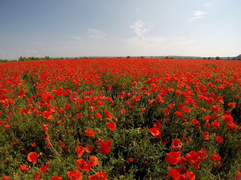Cena pitoresca fim acima da papoila fresca, vermelha das flores no campo verde, na luz solar paisagem rural majestosa fotos de stock