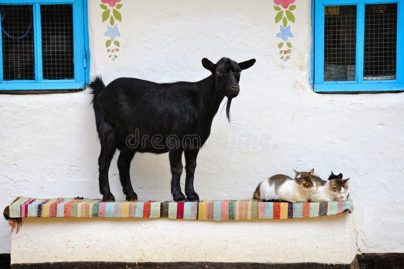 Cena rural. Cabra e um gato no banco. imagem de stock royalty free