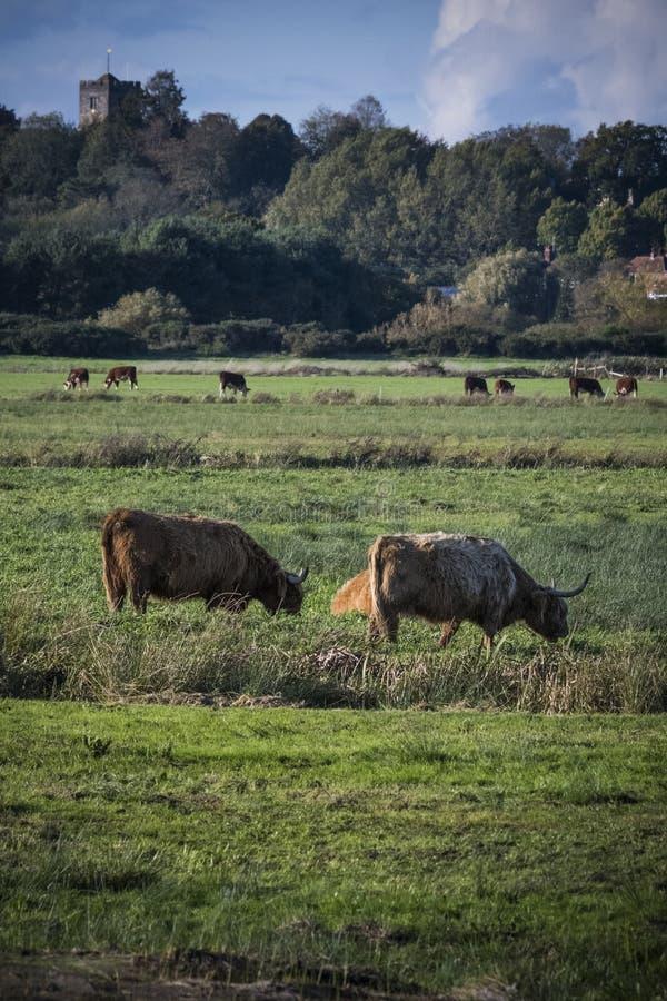 Cena rural com gado no campo com espiral de igreja ao fundo fotografia de stock royalty free