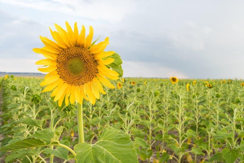 Cena rural do céu azul da agricultura do campo de exploração agrícola do girassol fotos de stock