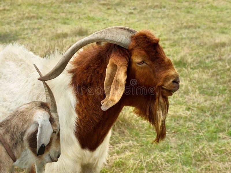 Cena rural do retrato da cabra de Billy fotos de stock