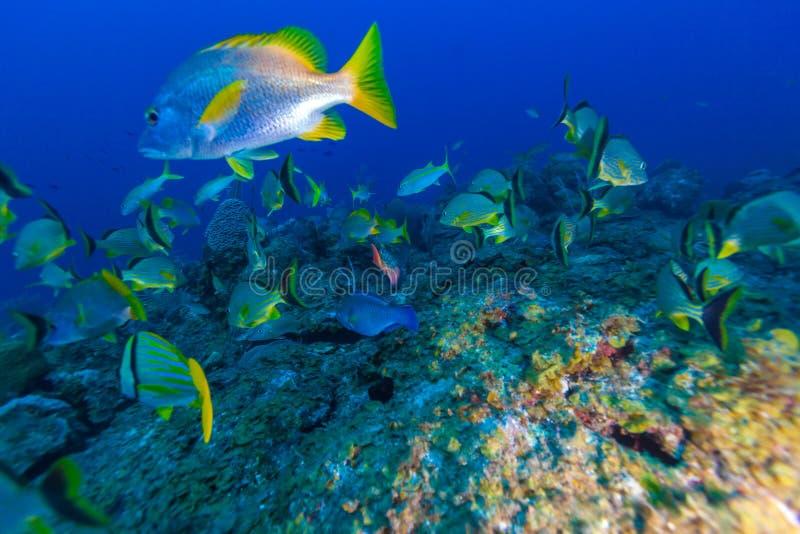 Cena subaquática com um banco de areia de peixes tropicais amarelos imagens de stock