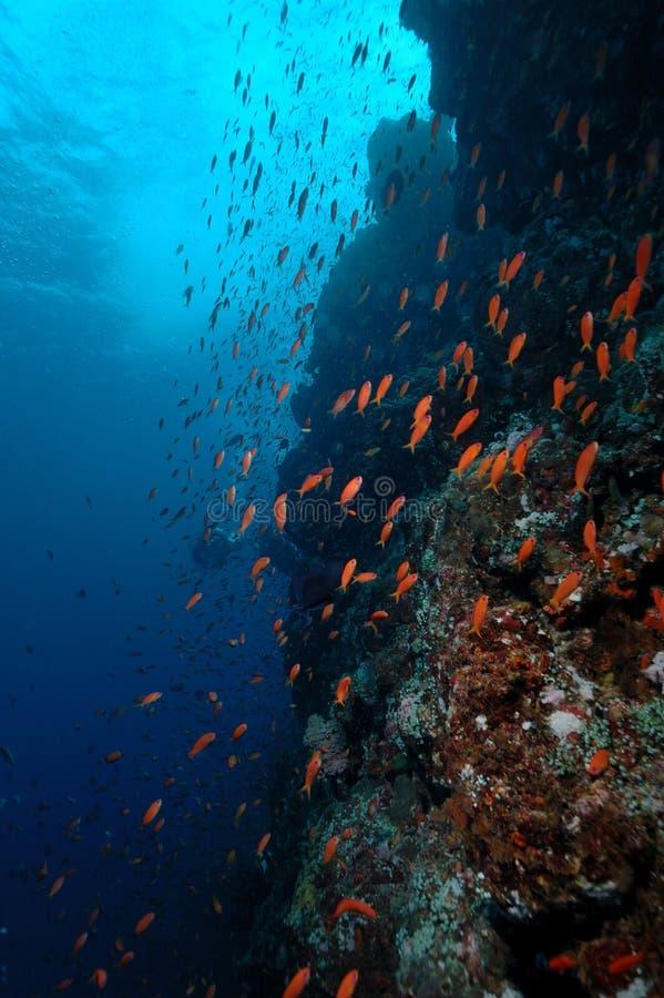Cena subaquática que educa o mergulhador de aceh Indonésia dos peixes foto de stock
