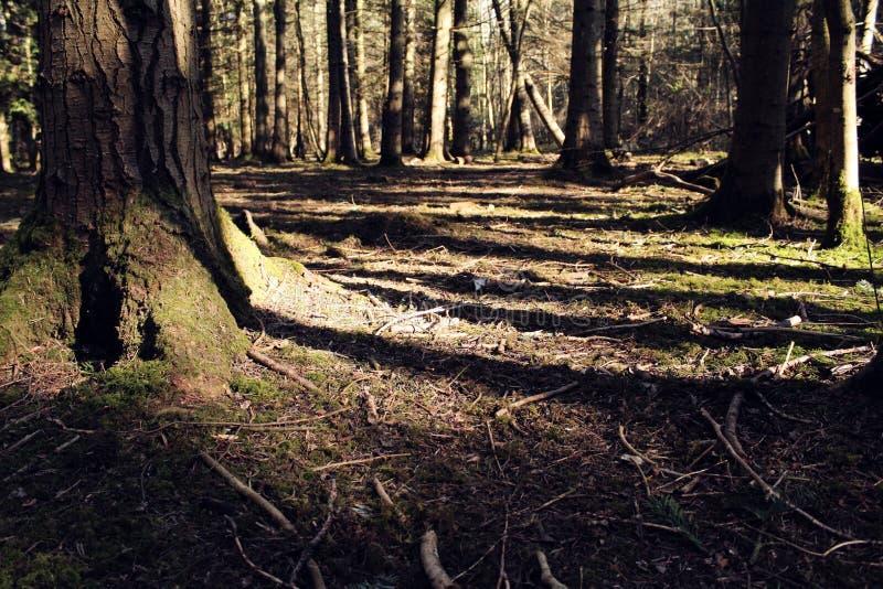 Cena tranquilo da floresta com raias da luz solar imagens de stock
