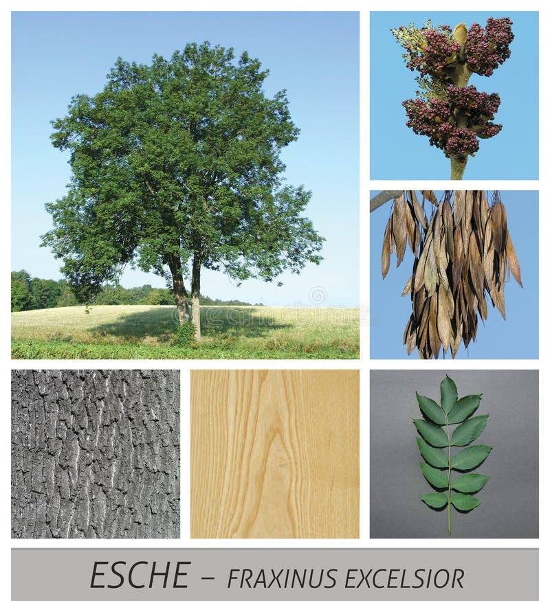 Cendre commune, cendre, laine de bois de fraxinus, fruits, écorce, bois, arbre, arbre à feuilles caduques photos stock
