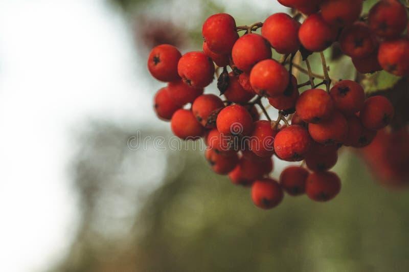 Cendre de montagne rouge sur une branche, macro photo avec le foyer sélectif branche rouge colorée automnale de sorbe branche mûr photo libre de droits