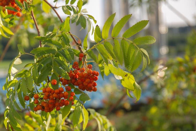 Cendre de montagne rouge sur une branche, macro photo avec le foyer sélectif branche rouge colorée automnale de sorbe branche mûr photos stock