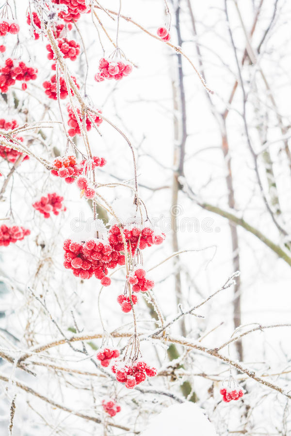 Cenere di montagna di inverno immagine stock