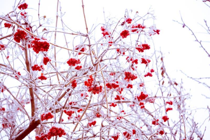 Cenere di montagna di inverno immagini stock libere da diritti