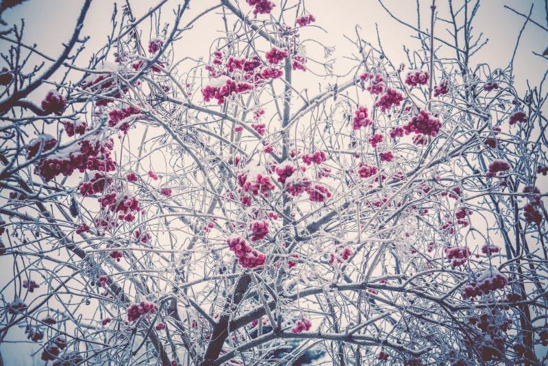 Cenere di montagna di inverno fotografia stock