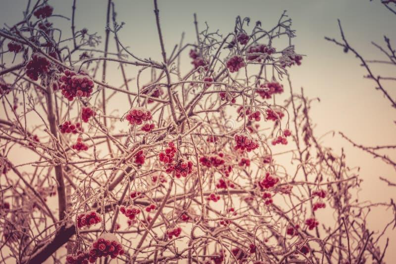 Cenere di montagna di inverno fotografie stock