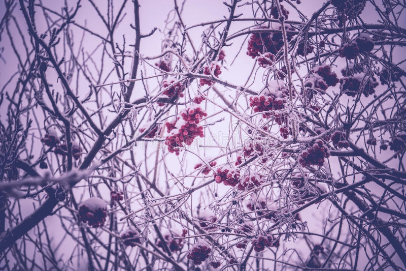 Cenere di montagna di inverno fotografia stock libera da diritti