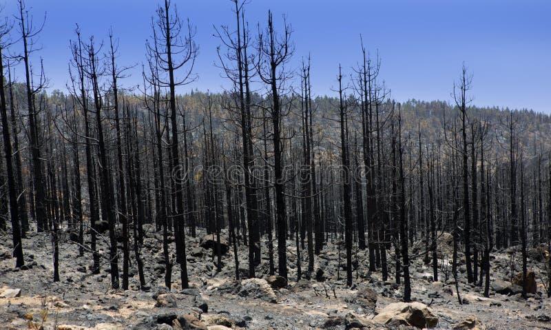 Ceneri nere del pino color giallo canarino dopo incendio forestale a Teide immagine stock libera da diritti