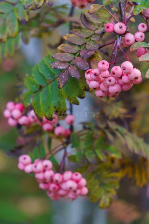 Ceniza de montaña blanca y rosa en la caída de un parque de la ciudad Paisaje del otoño fotos de archivo libres de regalías