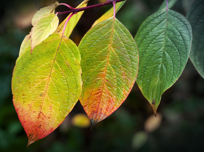 Cenni storici della natura di autunno Foglie variopinte luminose, macro wi della foto immagine stock